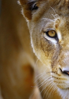 lioness, face, eyes