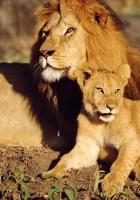 lions, family care, sun