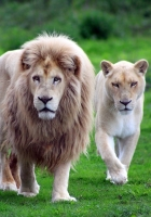 lions, family, grass