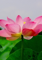 lotus, leaf, green