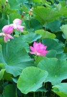 lotuses, herbs, leaves