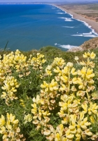 lupines, flowers, nature