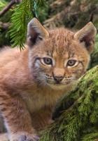 lynx, branch, sit