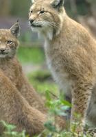 lynx, grass, family