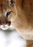 lynx, red, face
