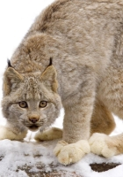 lynx, snow, predator