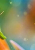 macro, grasshopper, flower