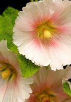 mallow, flower, close-up