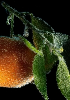 mandarine, drops, leaves