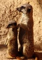 meerkat, baby, family