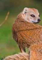 meerkat, grass, look