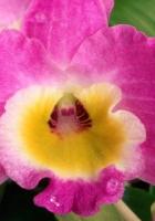 miltonia, pink, drops