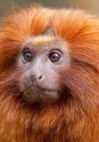 monkey, face, fluffy
