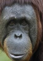 monkey, face, surprise