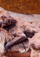 monkeys, couple, cub