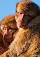 monkeys, family, marmosets