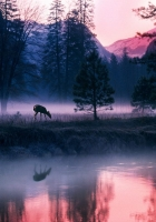 morning, elk, fog