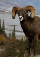 mountain sheep, horn, hill