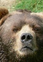 muzzle, bear, view