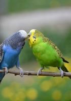 nature, birds, parrots
