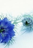 nigella, flower, stalk