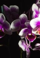 orchid, flower, black background