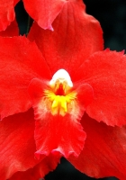 orchid, red, flower