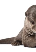 otter, animal, wool
