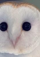 owl, barn owl, bird