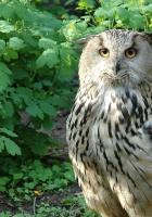 owl, bird, species