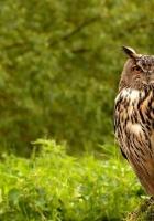 owl, birds, grass