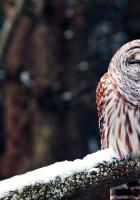 owl, branch, predator