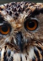 owl, face, close-up