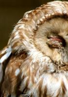owl, face, sleep