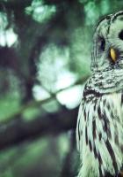 owl, striped, evening