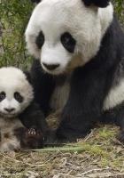 panda, couple, family