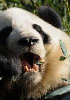 panda, food, grass