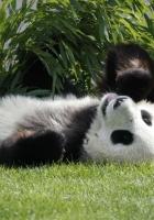 panda, lie, grass