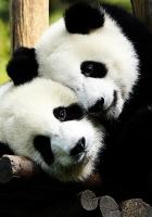 pandas, couple, hugging