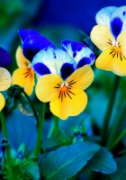 pansies, flowers, meadow