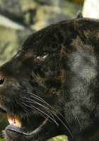 panther, face, profile