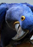 parrot, blue, beak
