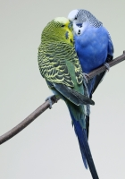 parrots, couple, budgies