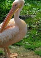 pelican, bird, pink
