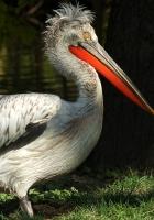pelican, black, big beak