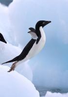 penguin, snow, jump