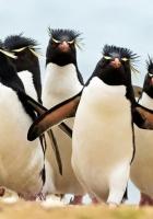 penguins, flock, crowd