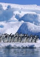 penguins, flock, jump