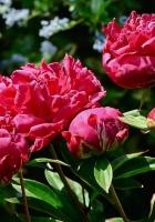 peonies, flowers, flowerbed