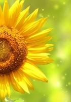 petals, sunflower, stem